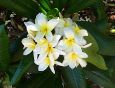 notecards, white plumeria
