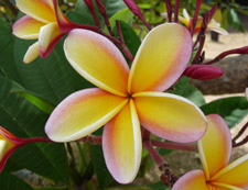 notecards, rainbow plumeria